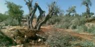 مستوطنون يقتلعون أشجارا مثمرة جنوب الخليل