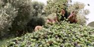 موسم قطف ثمار الزيتون